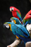 Lovely macaws on the branch Stock Photography