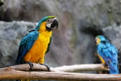 Lovely macaws on the branch Royalty Free Stock Image