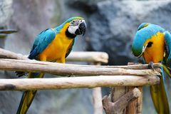 Lovely macaws on the branch Stock Images