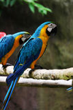Lovely macaws on the branch Stock Photo