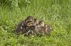 Lovely mallards. The Mallard or Wild Duck is a dabbling duck Royalty Free Stock Photography