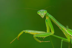 Lovely mantis model Stock Photography