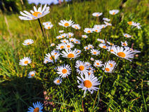 Lovely Marguerites Royalty Free Stock Photo