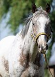 Appaloosa gelding. Lovely matured breed Royalty Free Stock Image