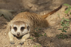Lovely meerkat. The meerkat or suricate is a small mammal Royalty Free Stock Photo