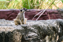 Lovely meerkat surikate Stock Image