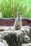 Lovely meerkat surikate Royalty Free Stock Photo