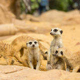 Lovely Meerkats looking something i Stock Images