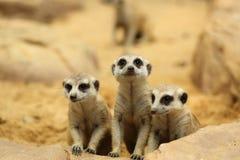 Lovely Meerkats looking something Stock Photos