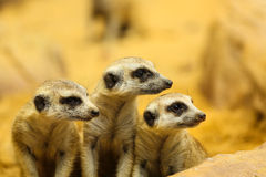Lovely Meerkats looking something Royalty Free Stock Images