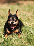 Lovely miniature pinscher dog Stock Images
