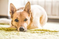 Cute mixed breed white and brown dog laying on a green rug. Lovely mixed breed huski and shepherd dog on a green rug at home Stock Photos