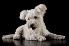 Lovely mixedbreed white dog in the black background. Lovely mixedbreed white dog lying on the black background royalty free stock photography