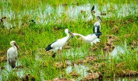 Couple of Anastomus oscitans or Openbill stork, local birds living in organic rice field in countryside of Thailand. stock photos
