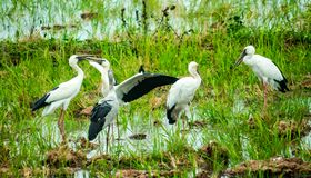 Anastomus oscitans or Openbill stork, local birds living in organic rice field in countryside of Thailand. stock photography