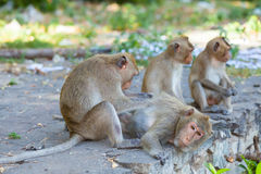 Lovely Monkey (Long-Tailed Macaque) cleaning each other Royalty Free Stock Photo