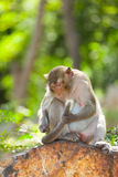 Lovely Monkey (Long-Tailed Macaque) cleaning her tail Stock Image