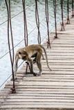 Monkey is walking on the suspension bridge Royalty Free Stock Photos