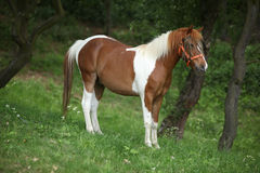 Lovely mottled pony with halter and insects protecter Royalty Free Stock Photo