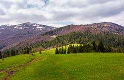 Lovely mountainous countryside in springtime. Spruce forest on grassy hills and mountains with snowy top royalty free stock photography