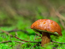 Lovely Mushroom Kingdom. Amazing Mushroom. Picture of a wild forrest mushroom in the woods of Bavaria in Germany in fall. Picture was taken on a warm September Royalty Free Stock Photography