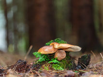 Lovely Mushroom Kingdom. Amazing Mushroom. Picture of a wild forrest mushroom in the woods of Bavaria in Germany in fall. Picture was taken on a warm September Royalty Free Stock Images