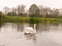 A lovely mute swam on a river in uk spring park swimming away si Stock Images