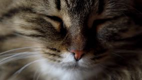 Cute muzzle of a tabby domestic cat close up. Lovely muzzle of a tabby domestic cat close up stock footage