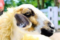 Lovely animal life Sheep in farm. Lovely natural animal life Sheep in farm Royalty Free Stock Image