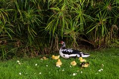 A black and white duck and her seven yellow ducklings royalty free stock images