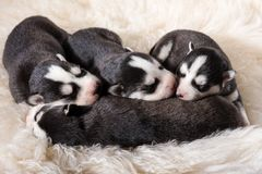Lovely Newborn Husky Puppies stock photo