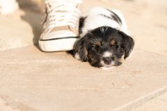 Lovely Newborn puppy dog 7.5 weeks old is sleeping next to a shoe royalty free stock photography