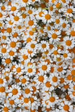 Lovely orange blossom daisy flowers background Royalty Free Stock Photography