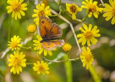 Gatekeeper butterfly Pyronia tithonus at the Mavrokolympos Dam in Cyprus stock photography
