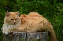 An orange tabby cat sits perched on a wooded tree stump ! Royalty Free Stock Photos