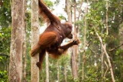 Lovely orangutan family hanging on the tree. Royalty Free Stock Photos