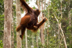 Lovely orangutan family hanging on the tree. Royalty Free Stock Photography