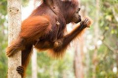 Lovely orangutan family hanging on the tree. Stock Photo