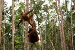 Lovely orangutan family hanging on the tree. Royalty Free Stock Images