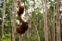 Lovely orangutan family hanging on the tree. Stock Image