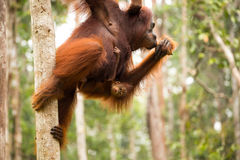 Lovely orangutan family hanging on the tree. Royalty Free Stock Photo