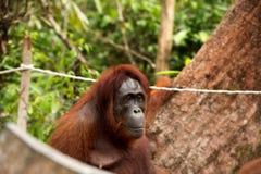 Lovely orangutan female. Royalty Free Stock Photos