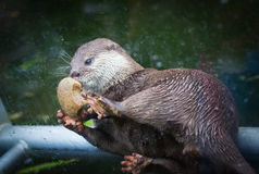 Lovely otter plays with stone Royalty Free Stock Photo