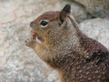 Brown squirrel on the rocks royalty free stock images