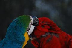 A lovely pair of Macaws in the wild stock images