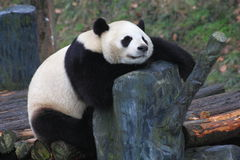 Lovely panda Stock Images