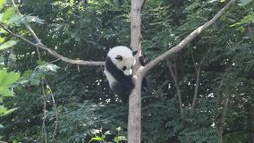 The lovely panda is in the tree. stock video