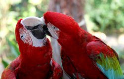 Lovely parrots Scarlet Macaw.Care of darling. Royalty Free Stock Photography