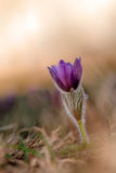 Lovely Pasqueflower. Macro Picture of a Violet Pasqueflower (Pulsatilla vulgaris), shot on an early spring evening in nothern Bavaria 2013 Stock Images