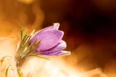 Lovely Pasqueflower. Lovely Picture of a Beautiful violet Pasqueflower (Pulsatilla vulgaris) in front of a shimmering background, rare bavarian wildlife flower Stock Photography